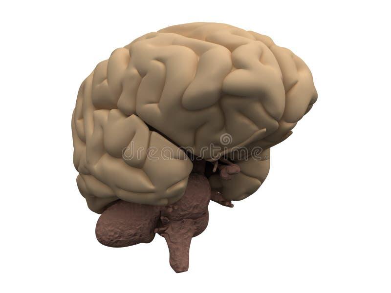 脑子后脑半球人下丘脑 库存例证