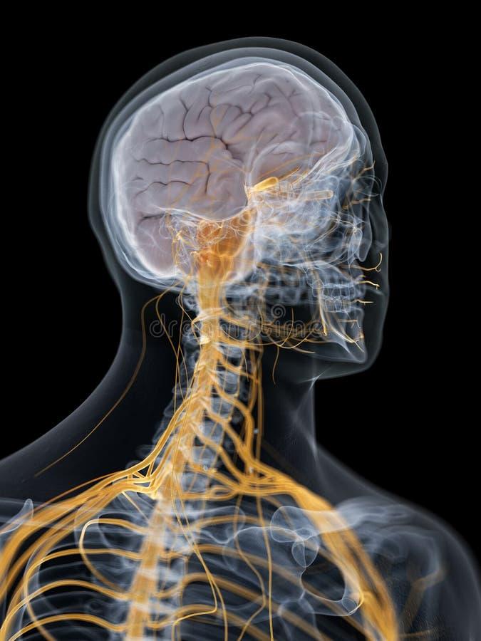 脑子和神经系统 皇族释放例证