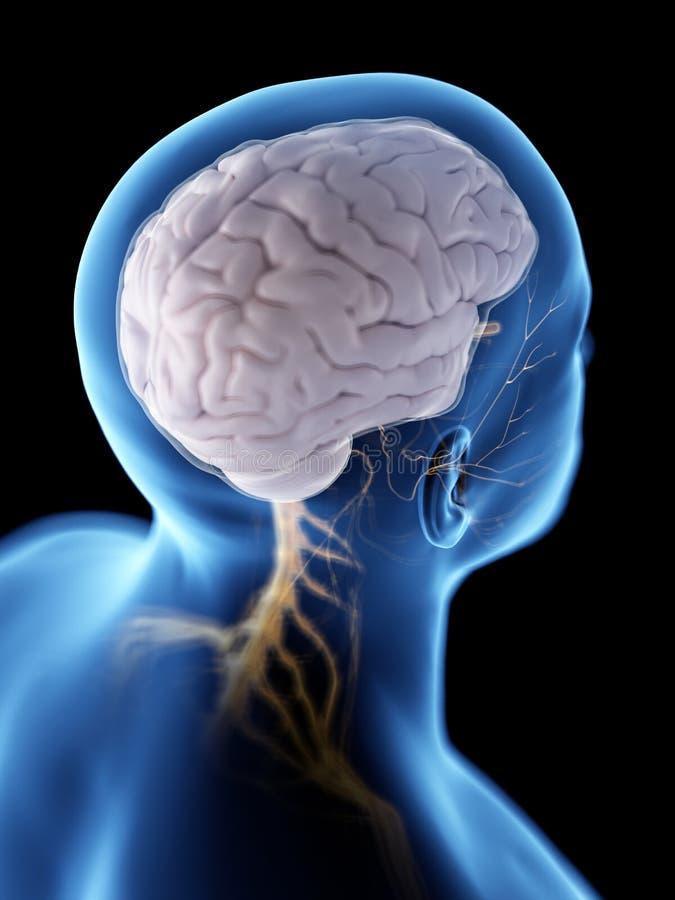 脑子和神经系统 向量例证