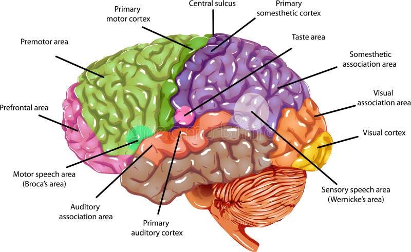 脑子地区 库存例证