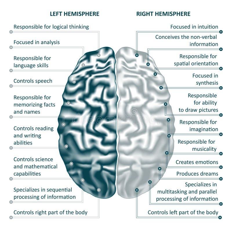 脑子左右半球infographics传染媒介例证 库存例证