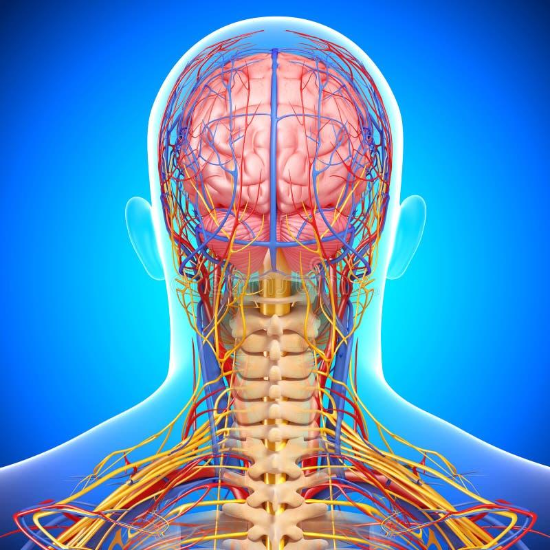 脑子循环和神经系统  向量例证