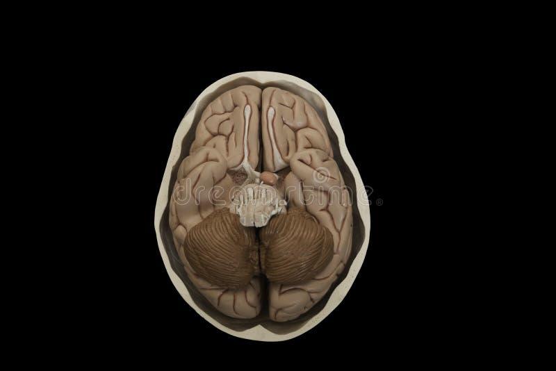 脑子模型基地在黑背景隔绝的头骨的 免版税库存照片