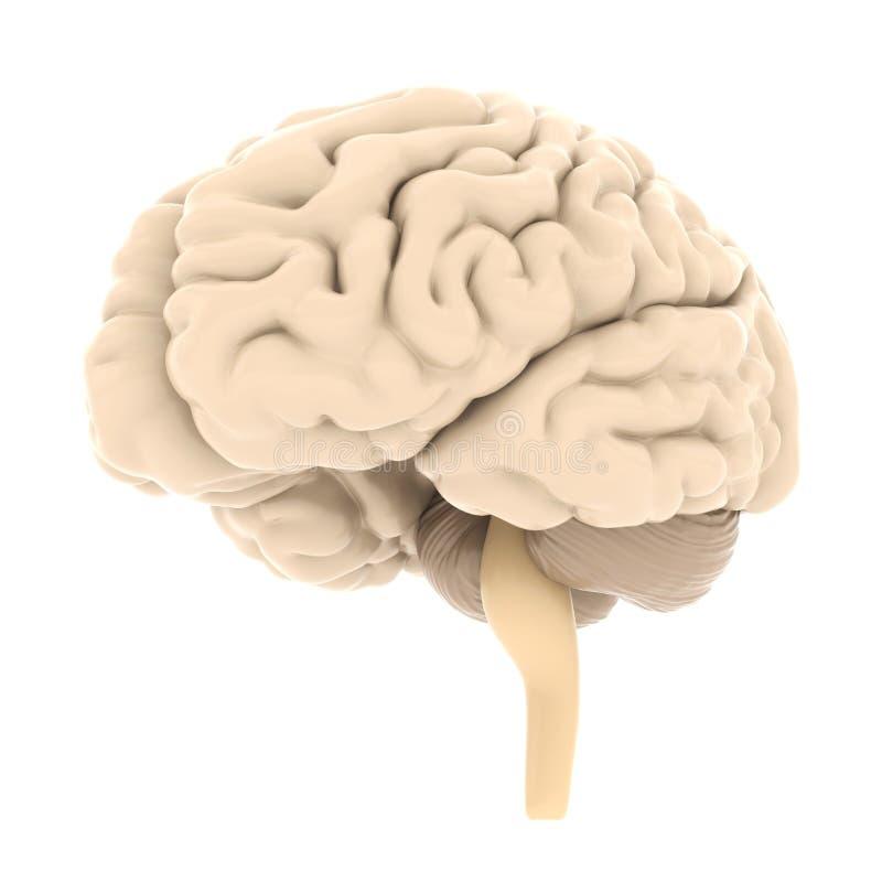 脑子的模型 库存例证