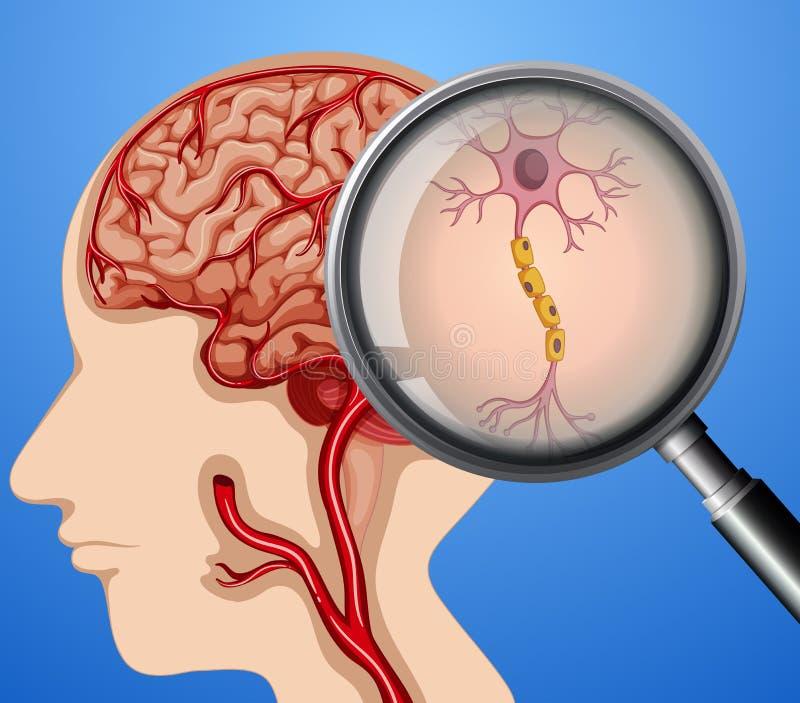 脑子神经元神经人的解剖学  向量例证