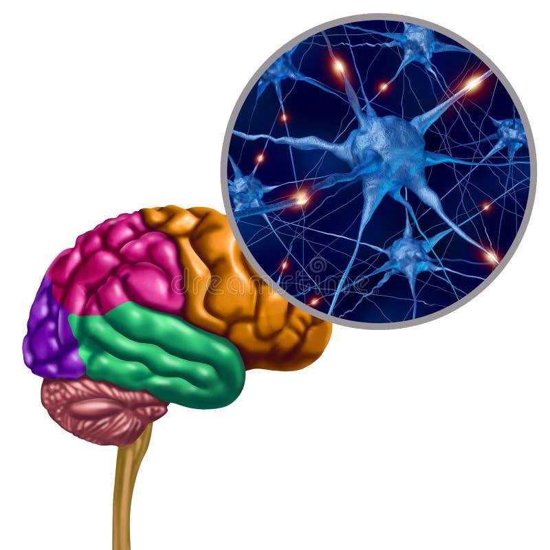脑子耳垂激活神经元 向量例证