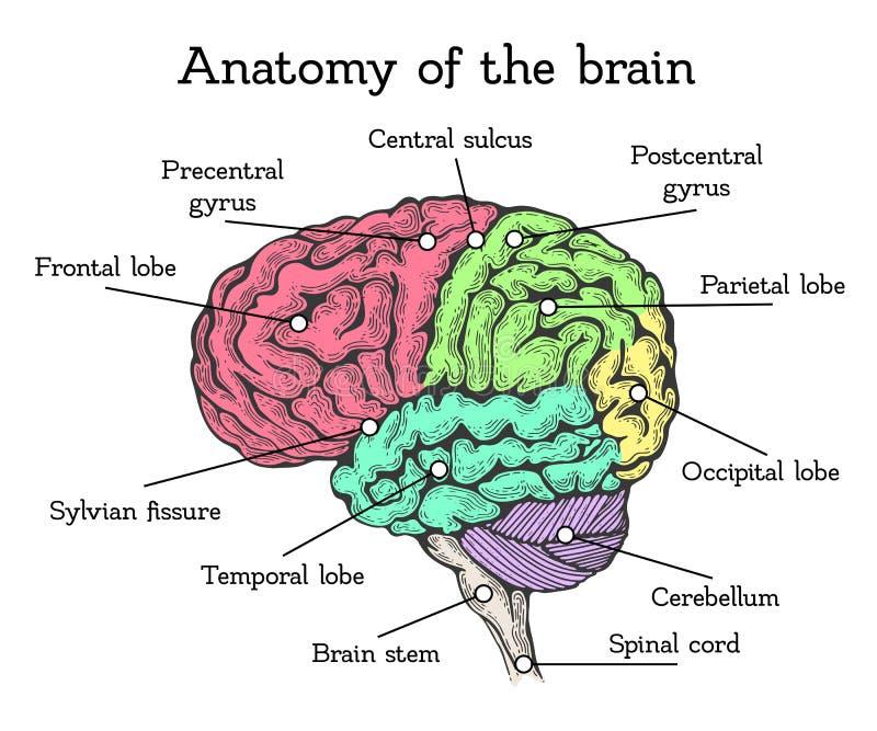 脑子解剖学色彩设计 库存例证