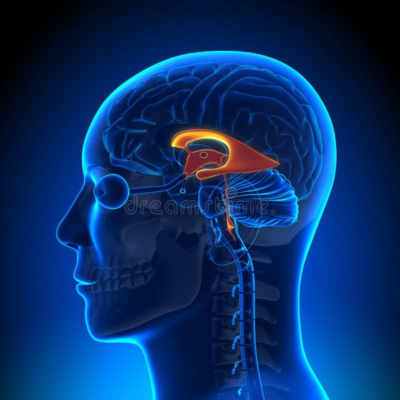 脑子解剖学-心室 向量例证