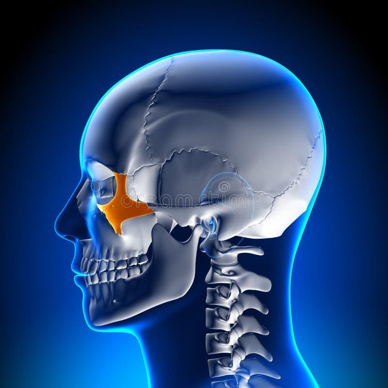 脑子解剖学-颧骨 向量例证