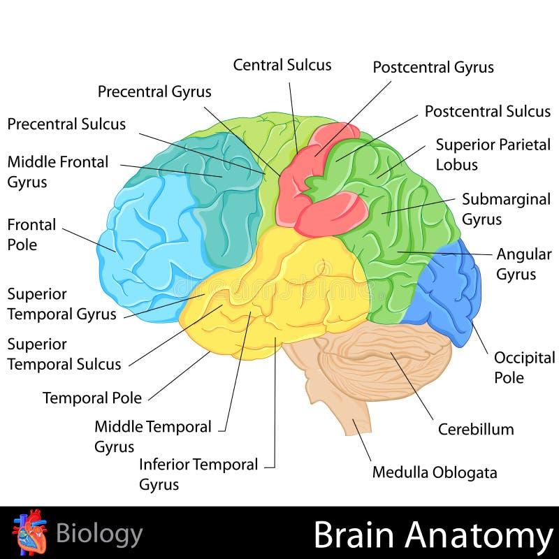 脑子解剖学 向量例证