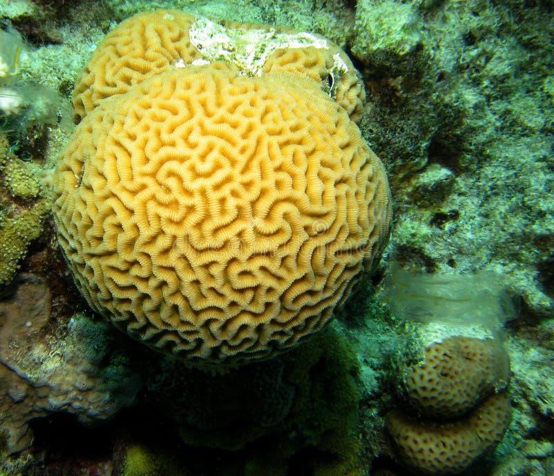 脑子通报珊瑚 免版税库存图片