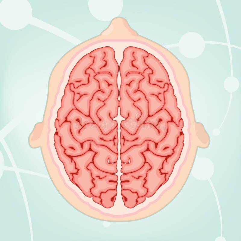 脑子顶上的视图 免版税库存照片