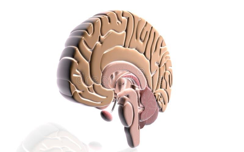 脑子 向量例证