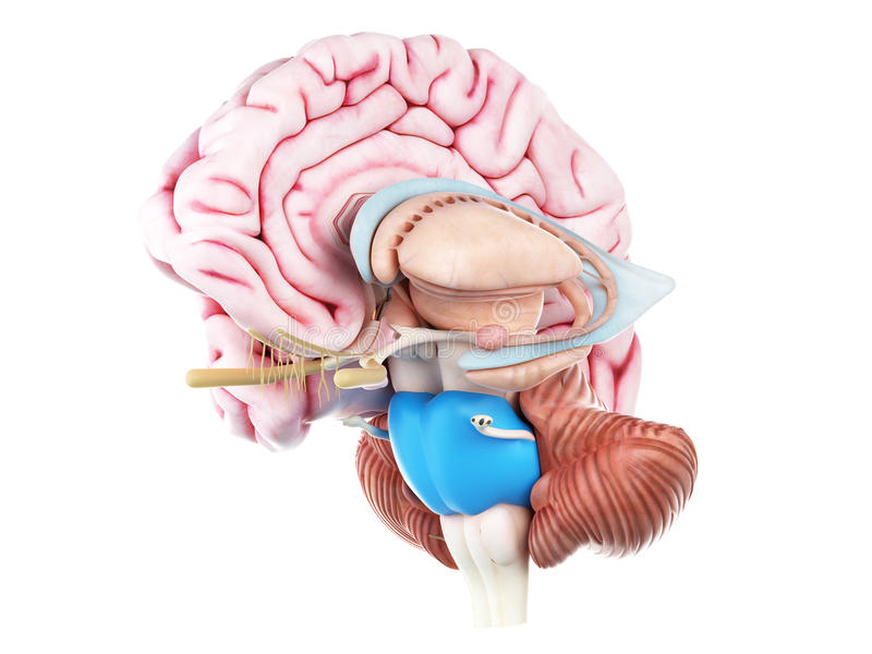 脑桥 向量例证
