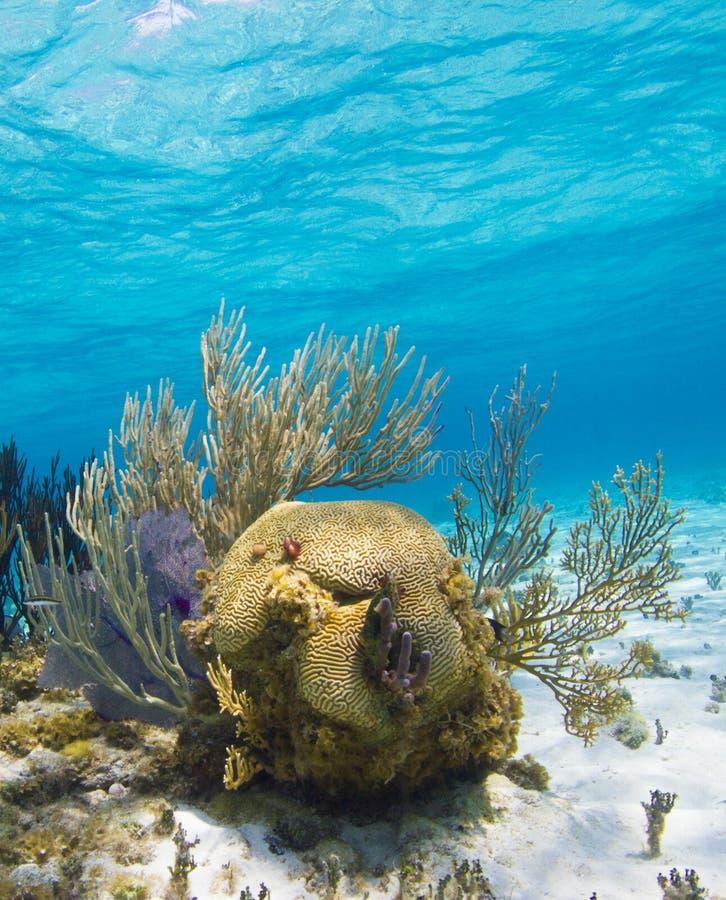 脑珊瑚庭院staghorn 免版税库存图片