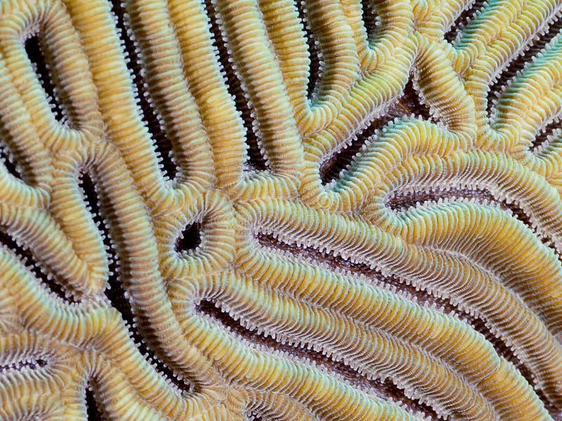 脑珊瑚特写镜头 库存照片