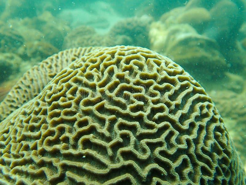 脑珊瑚, Platygyra 免版税库存照片