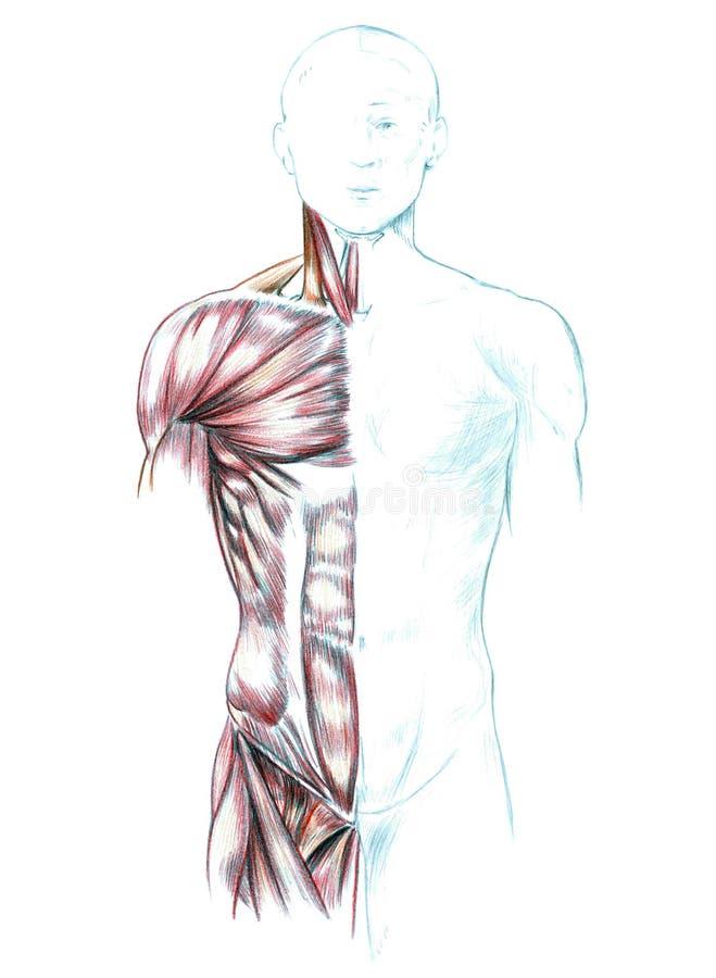 脖子、肩膀、胸口和腹部的肌肉 库存例证