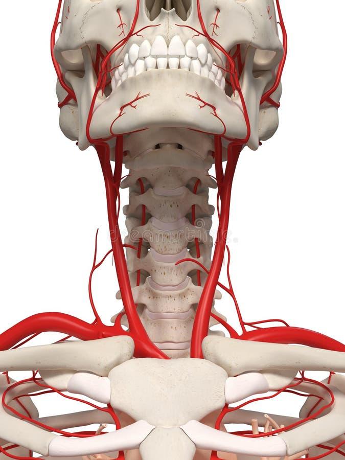 脖子动脉 库存例证