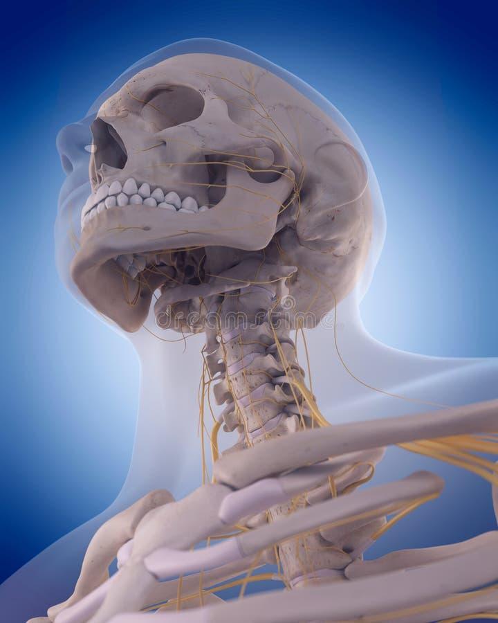 脖子的神经 皇族释放例证