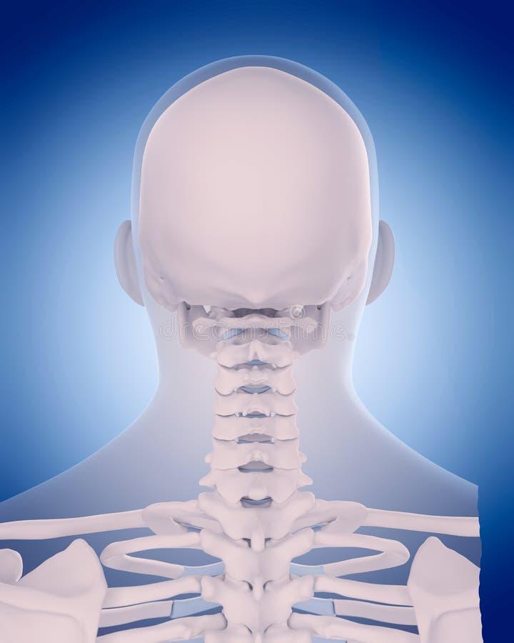 脖子的骨头 库存例证