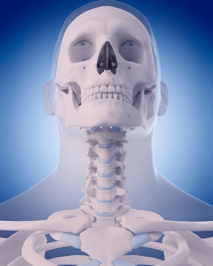 脖子的骨头 皇族释放例证