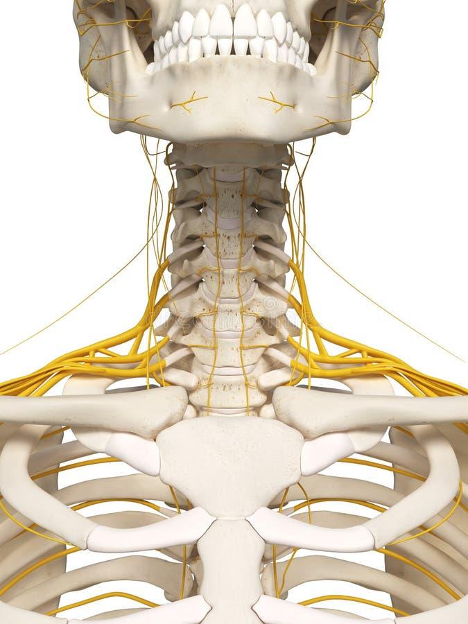 脖子神经 向量例证