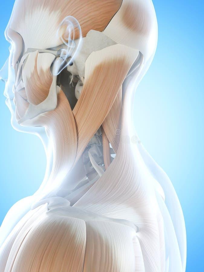 脖子肌肉 库存例证