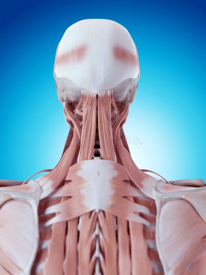 脖子解剖学 向量例证