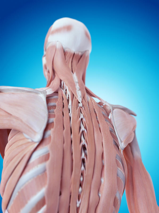 脖子解剖学 皇族释放例证