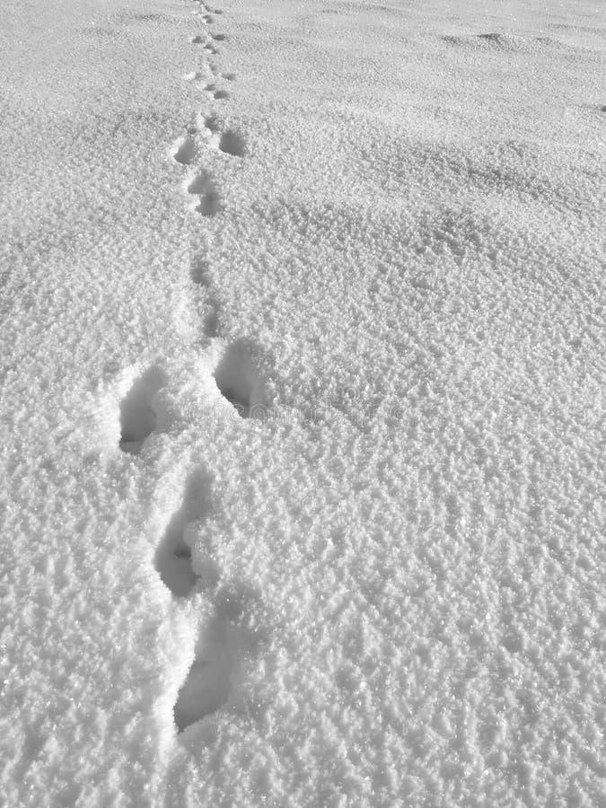 脚印野兔 库存图片