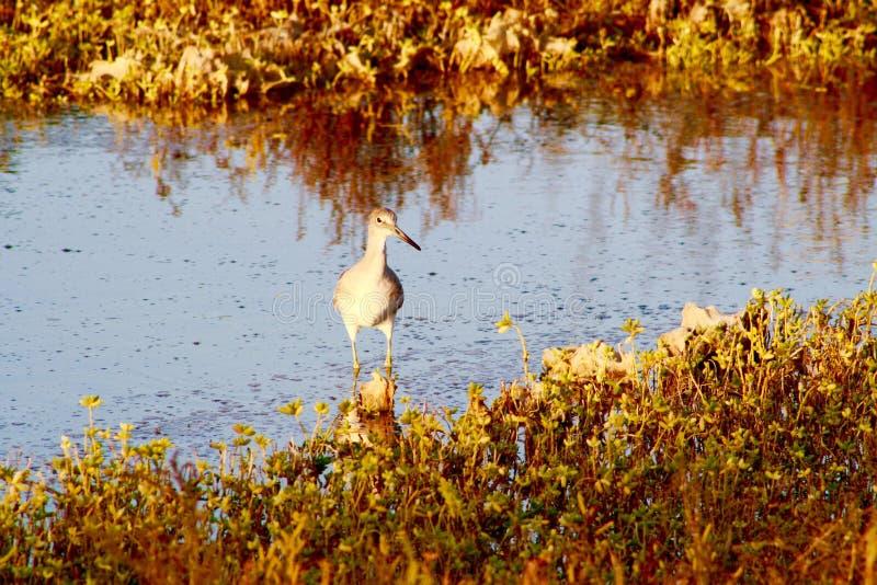 脚步轻快拍板路轨鸟Bolsa奇卡沼泽地加利福尼亚 免版税库存照片