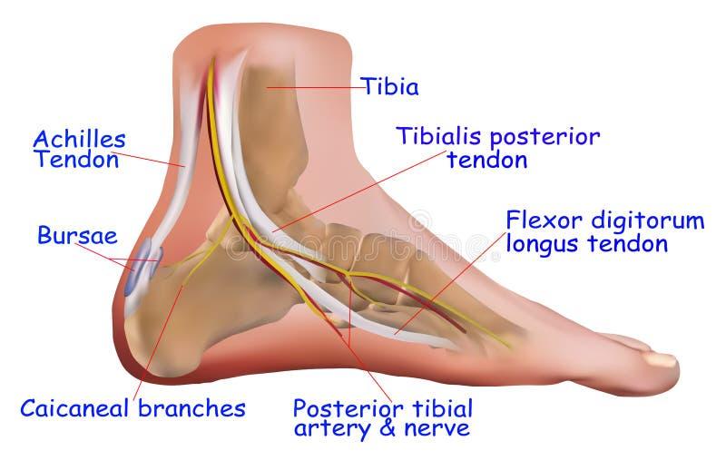 脚腕解剖学  向量例证