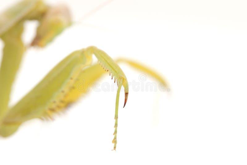 脚螳螂 库存照片