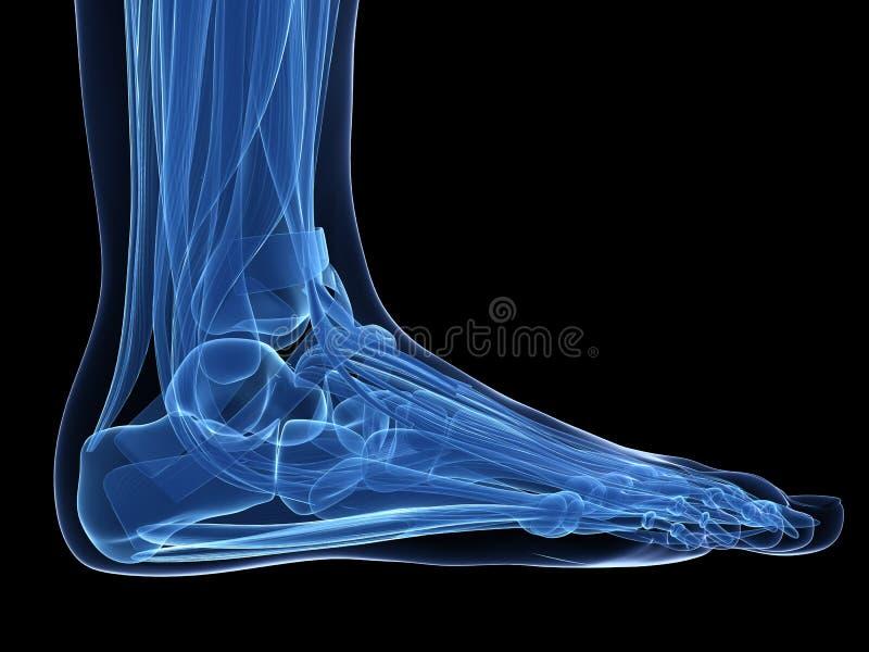脚解剖学 皇族释放例证