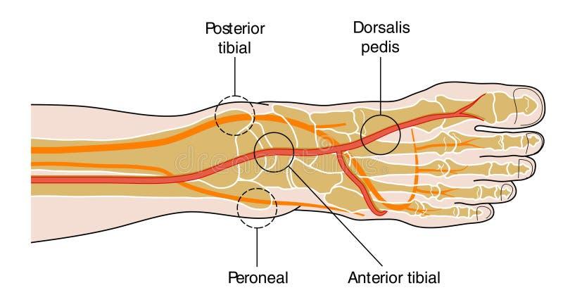 脚蹬脉冲 库存例证