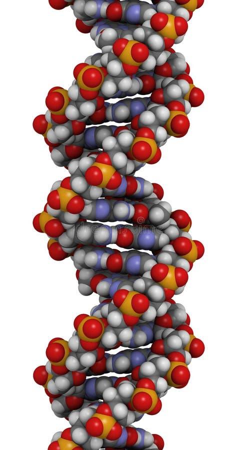 脱氧核糖核酸结构, B-DNA形式 向量例证
