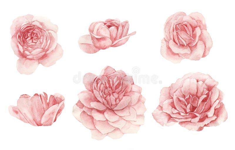 脸红分离的玫瑰花蕾 皇族释放例证