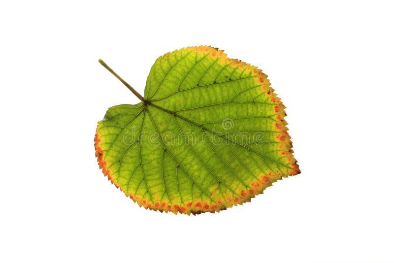 脸红的和染黄的秋天叶子 免版税库存图片