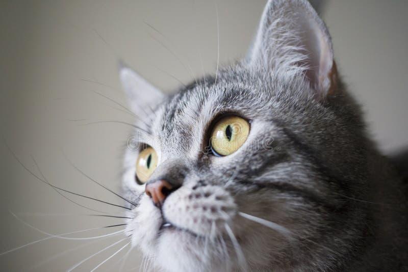 脸颊丰满的猫 图库摄影