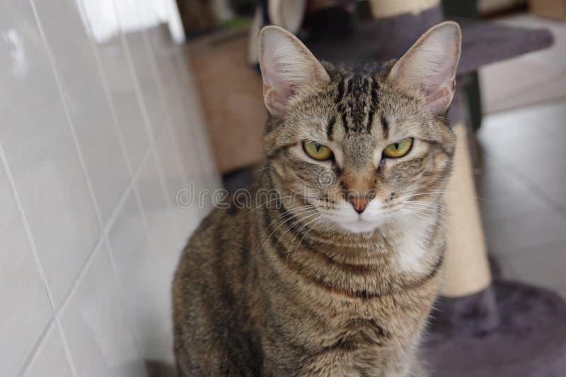 脾气坏的猫 免版税库存照片