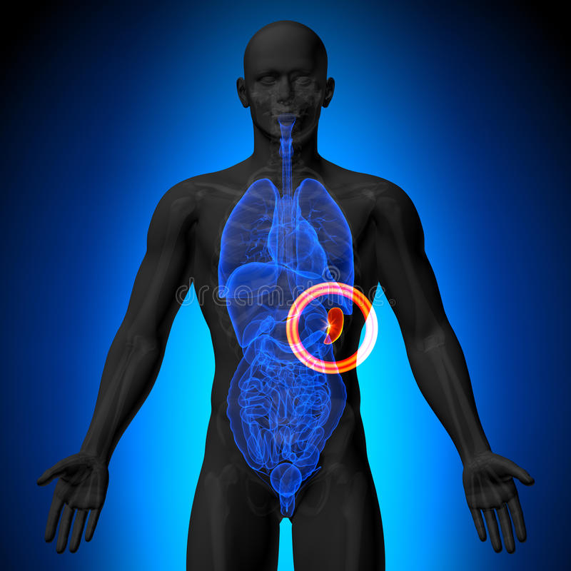 脾脏-人体器官男性解剖学- X-射线视图 向量例证