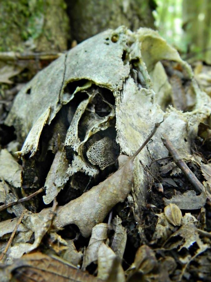 腐朽深深在森林里的绵羊头骨 免版税图库摄影