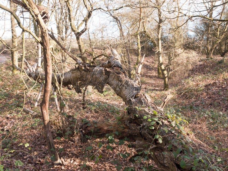 腐朽的吠声老下落的树看法在森林里 库存照片