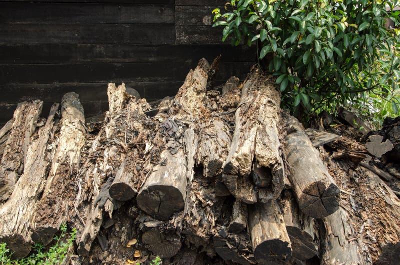 腐烂的美洲红树木头 免版税库存照片