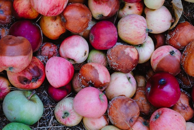 腐烂的苹果接近的看法在地面,一个被损坏的收获的概念上的 免版税库存图片