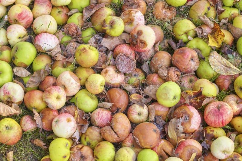 腐烂的苹果的图片在庭院里 免版税库存图片