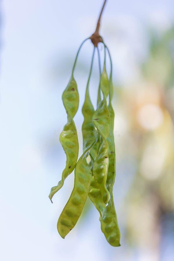 腐败的豆或Petai或者皮特或者佐藤或者苦涩豆在原始树从南部在泰国 库存照片