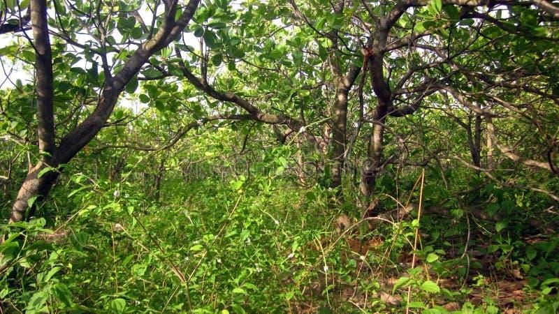 腰果树森林  库存图片