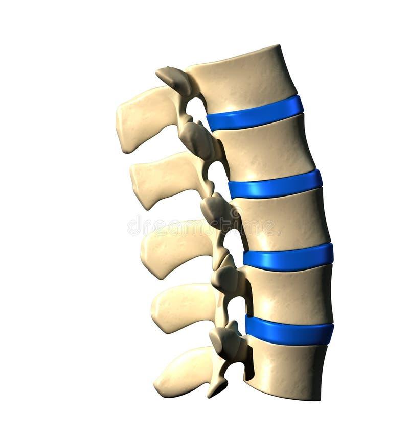 腰脊柱-侧向看法 库存例证
